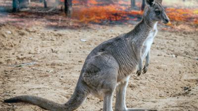 Koala, Wombat & Co.: Leben nach dem Buschfeuer