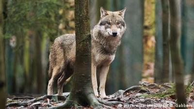 Fokus Europa: Deutschland: Problemwolf Roddy
