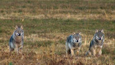 Planet Schule: Familie Wolf - Gefährliche Nachbarn?
