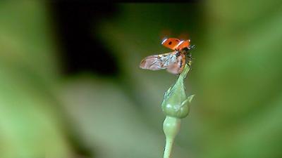 Die Maus wird 50: Wo hat der Marienkäfer seine Flügel?