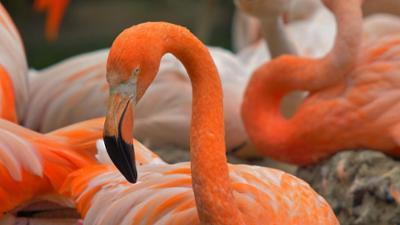 Die Maus wird 50: Podcast und Sachgeschichte: Flamingoschnabel