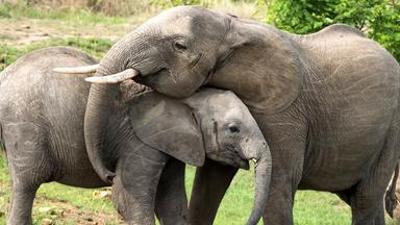 Löwenzähnchen: Elefant