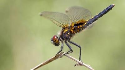 Löwenzähnchen: Libelle