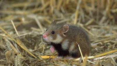 Löwenzähnchen: Hamster