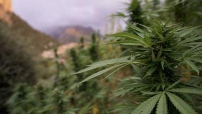 Millionengeschäft Cannabis
